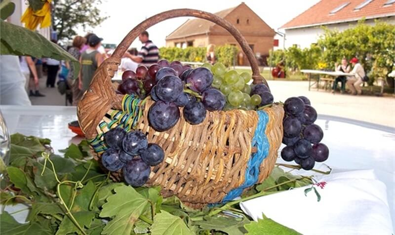 Ilok Grape Harvest