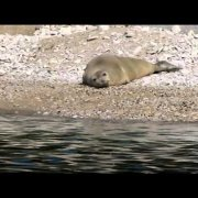 Sredozemna medvjedica u Puli - kupalište Valkane, Mediterranean Monk Seal  Pula 17.03.2014