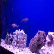 Aquarium Sibenik - Comber feeding